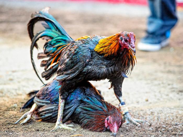 Ayam Jago Sabung Ayam